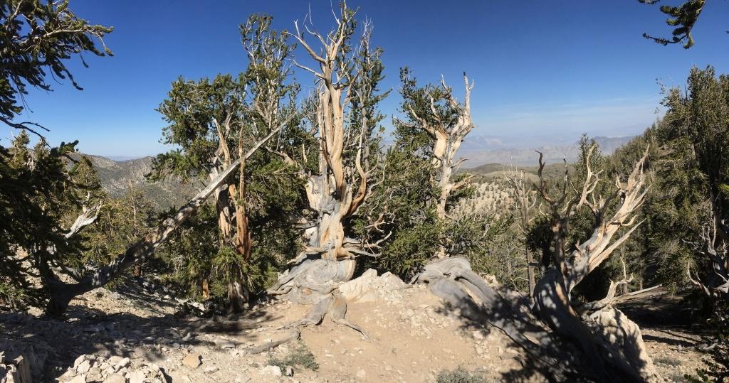 Die ältesten Bäume der Welt in den White Mountains, mit Blick nach Osten.