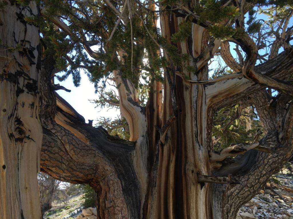 Sie blicken gerade auf 5000 Jahre. Die ältesten Bäume. Zur Zeit des Keimlings wurde noch nicht einmal die Bauvoranfrage der Pyramiden gestellt.